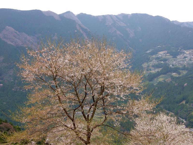 高知県吾川郡仁淀町 桜 ひょうたん桜