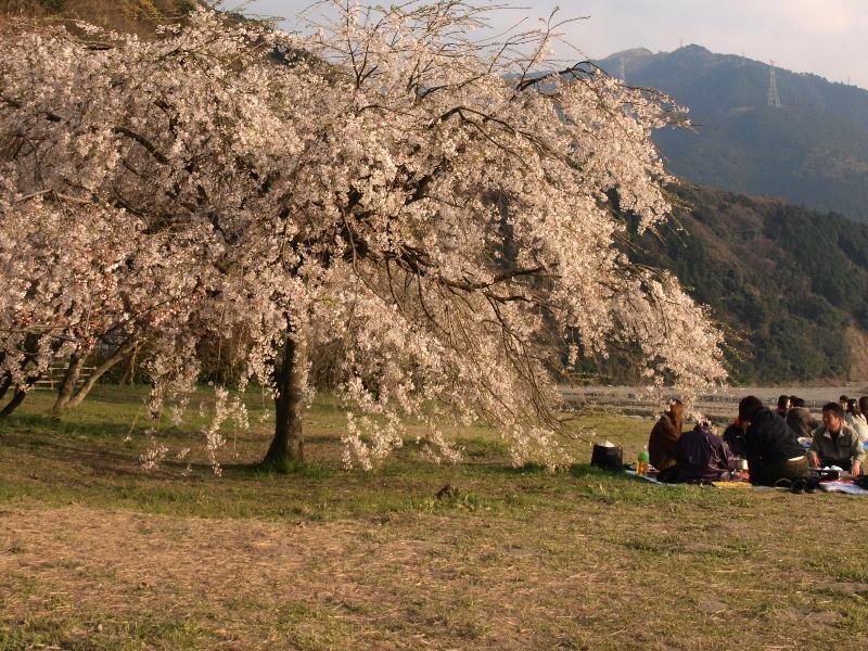 西条市 武丈公園 桜