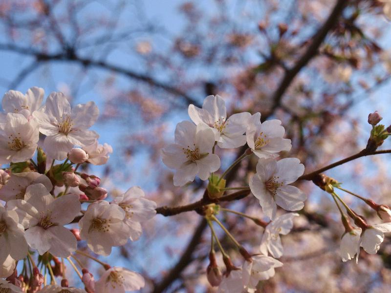 西条市 クラレ工場 桜