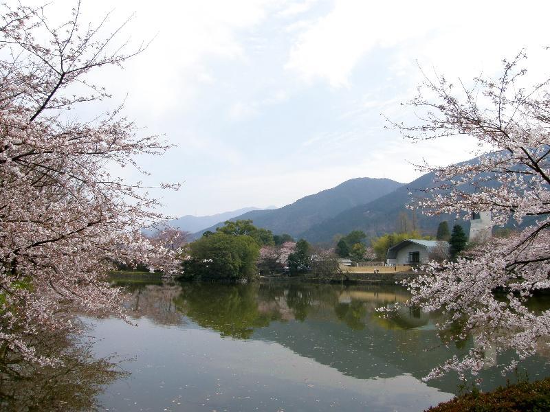 新居浜市 広瀬公園 桜