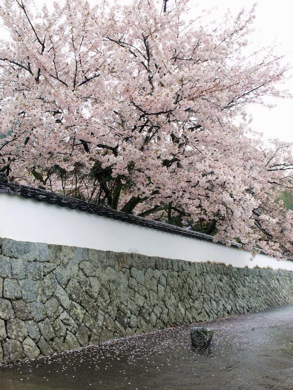 西条市久妙寺 桜