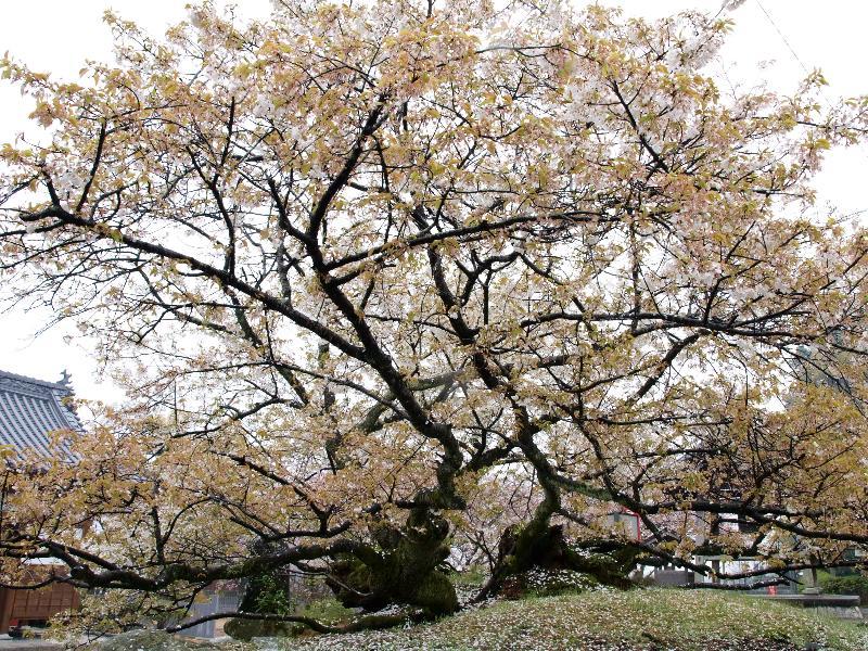 西条市 実報寺 桜