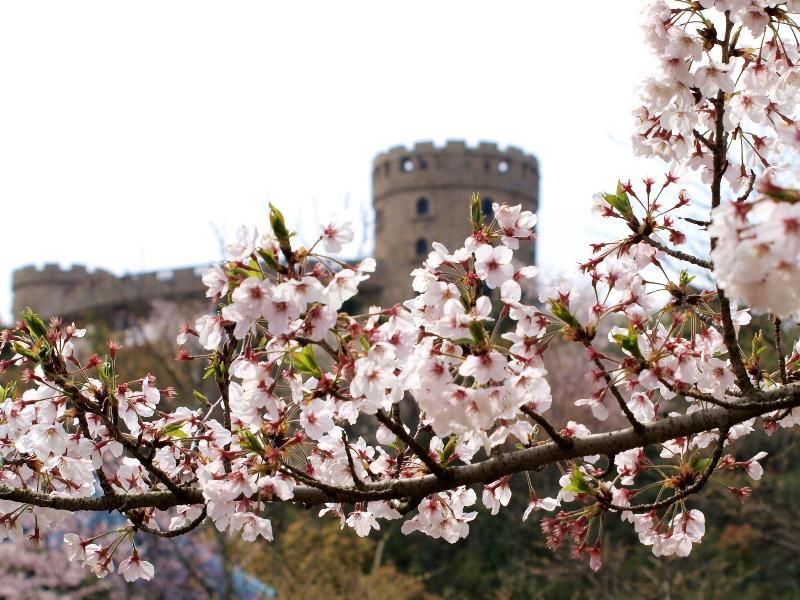 松山市 総合公園 桜