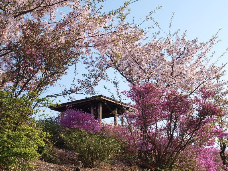 しまなみ街道 伯方島 開山公園 桜