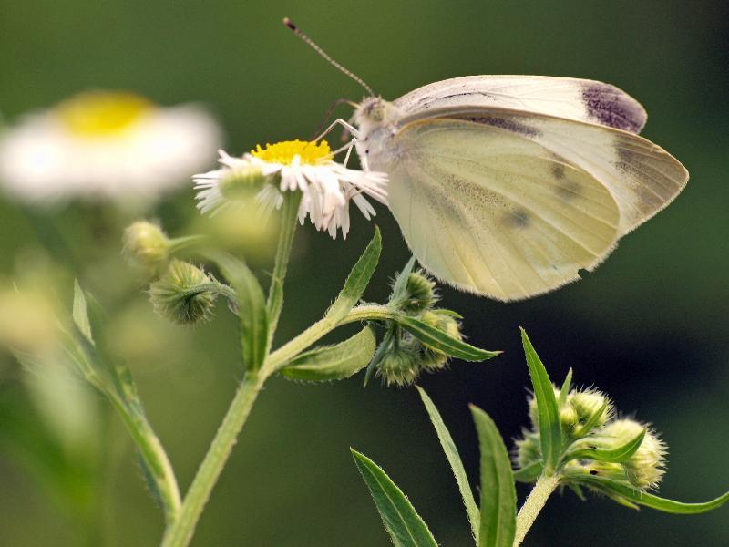 西条市 蝶