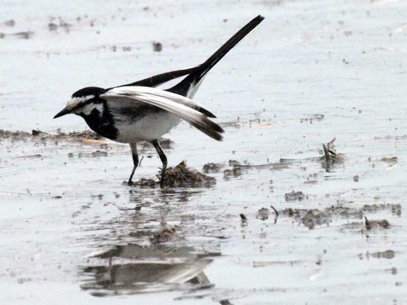 ハクセキレイ 野鳥