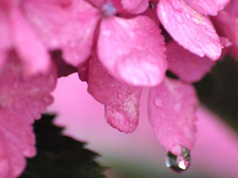 西条市 紫陽花