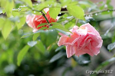 rainrose1.jpg