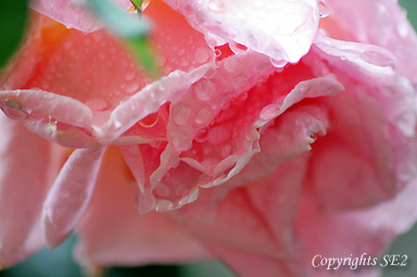 rainrose2.jpg