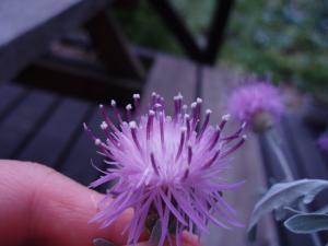 セントーレア花粉3