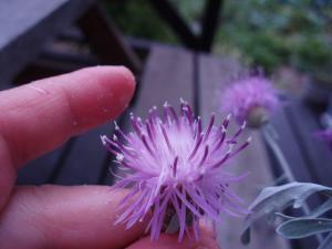 セントーレア花粉1
