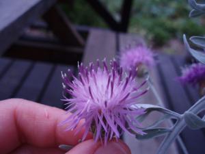セントーレア花粉2
