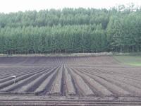 芋畑 落葉松も綺麗な緑色になりました