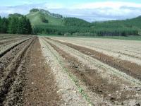 これがかける前とかけた後、、、土の乾きがよくなり地温が上がります。 向こうに見えるのは案山子じゃありませんよ!
