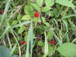 雑草の中の木苺