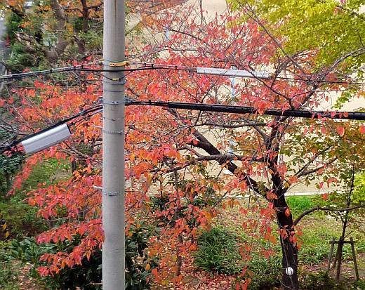 裏の公園の桜紅葉2011