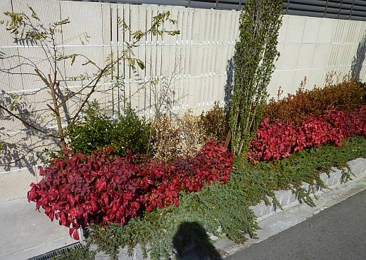 オタフクナンテンの紅葉