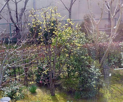 Y邸のサンシュユの花
