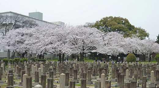 真田山陸軍墓地の桜林