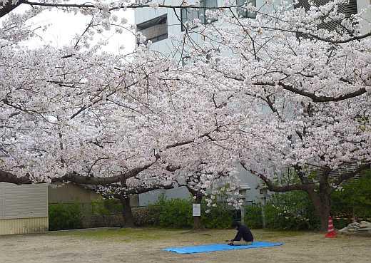 三光神社の桜
