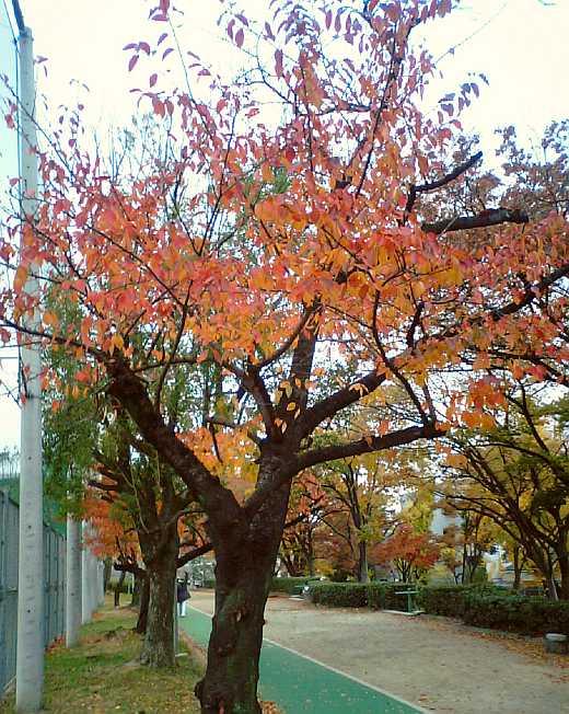 真田山公園の桜2011秋