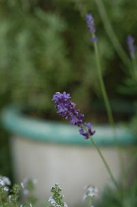 lavender2008613.jpg