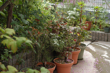 roses2008807-1.jpg