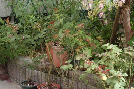 roses2008807-2.jpg