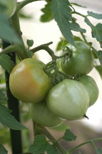 tomatomini2008708-1.jpg