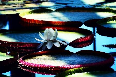 蓮の花00