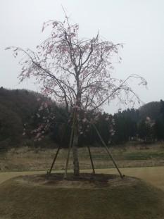 H21しだれ桜