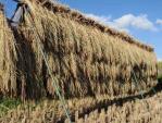 天日干しの古代米