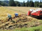 湿地田の稲刈り