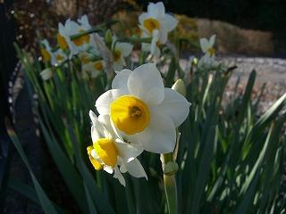 駐車場の片隅に水仙の花