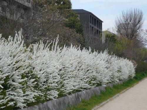 鴨川沿いの白い花2