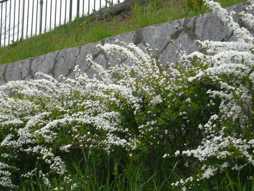 鴨川沿い白い花