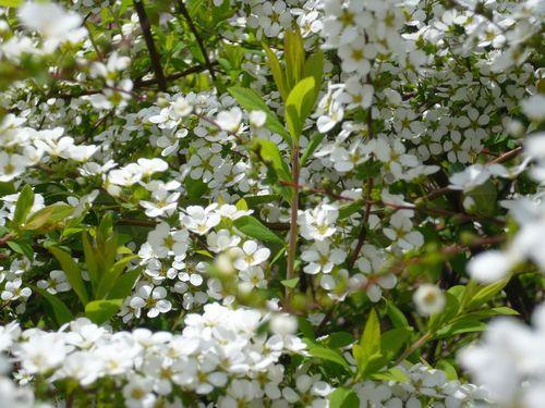 横断歩道沿いの白い花