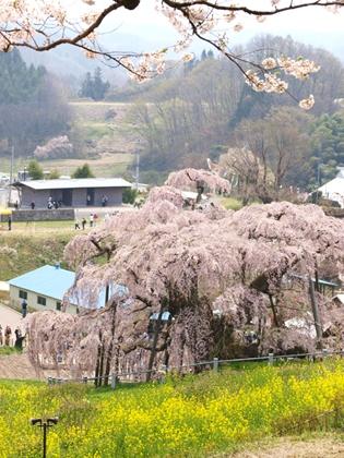 福島県三春町滝桜