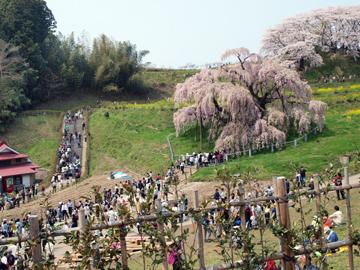 三春町滝桜の人だかり