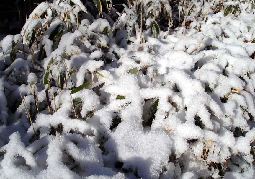 笹に積もった新雪