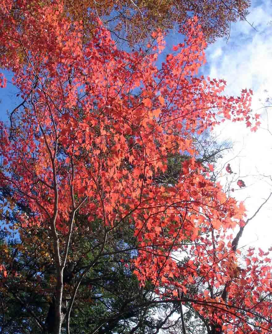 DSC01452 紅葉のカエデ