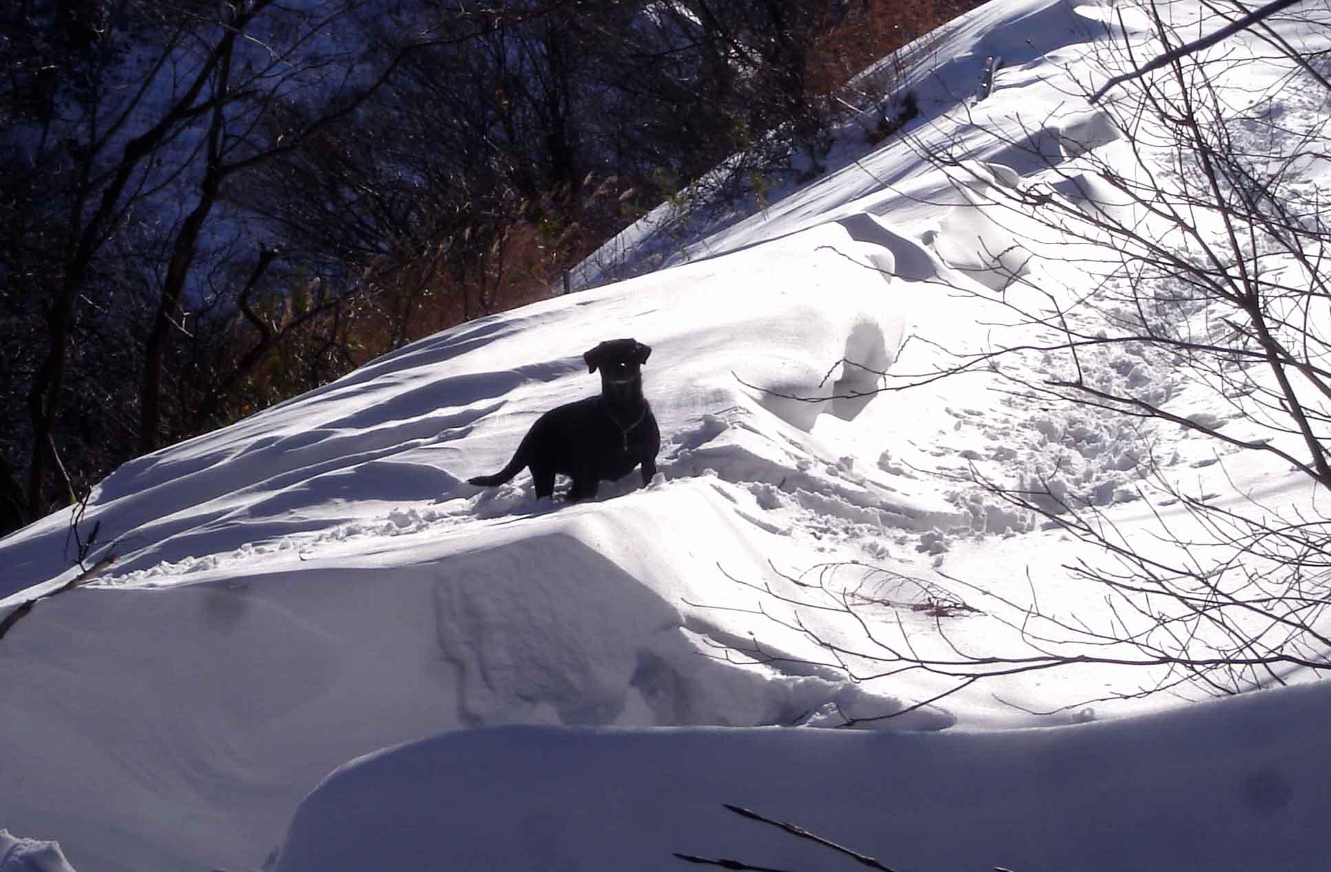 黒ラブ雪中陰影 DSC03497