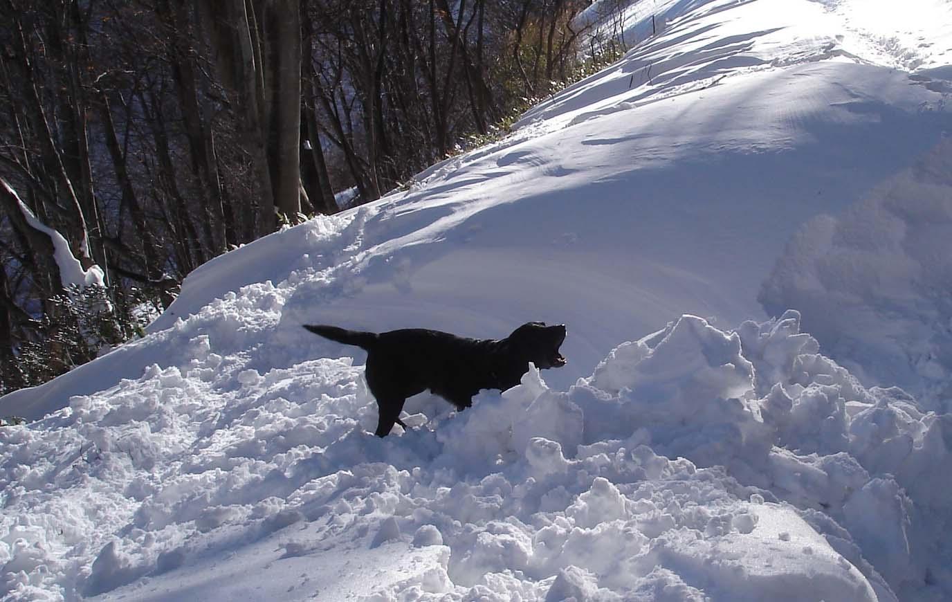 黒ラブ雪中捜索咆哮 ★DSC03545