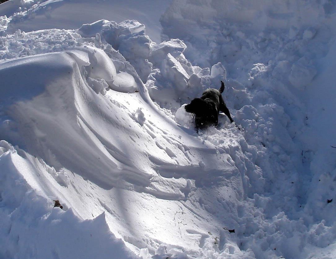 黒ラブ雪中捜索中 3518