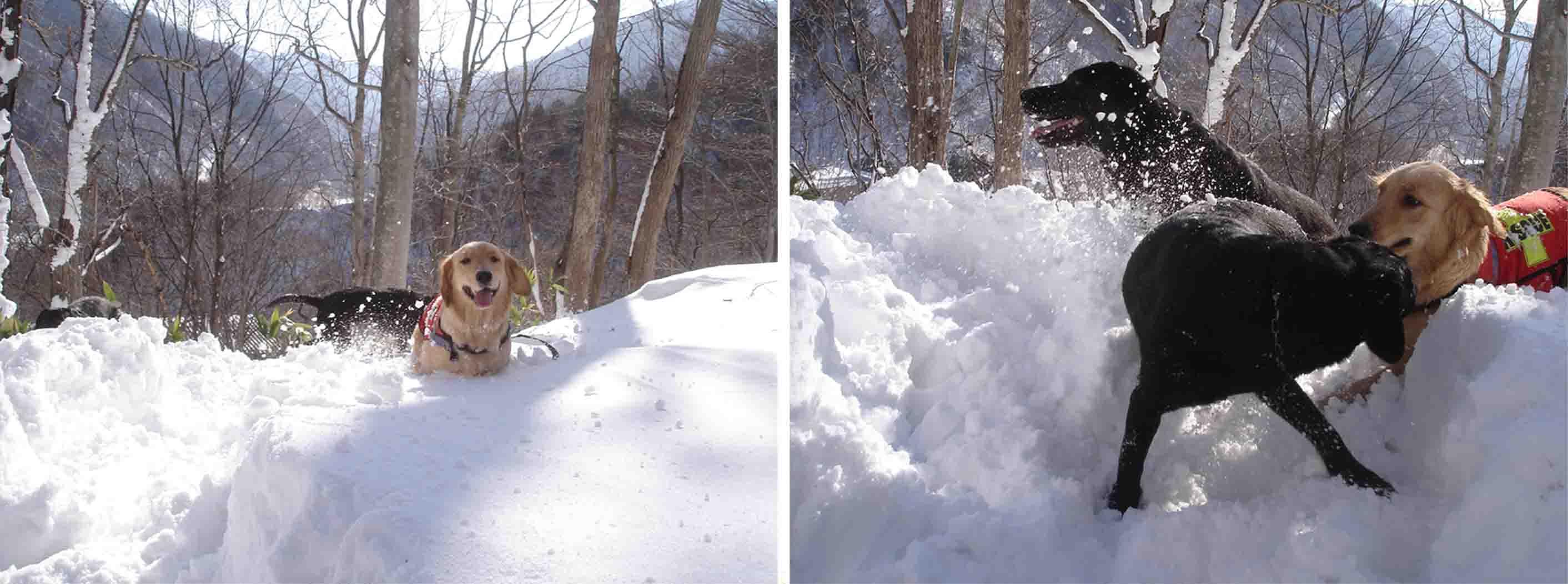 雪中デビューゴールデンと黒ラブ②