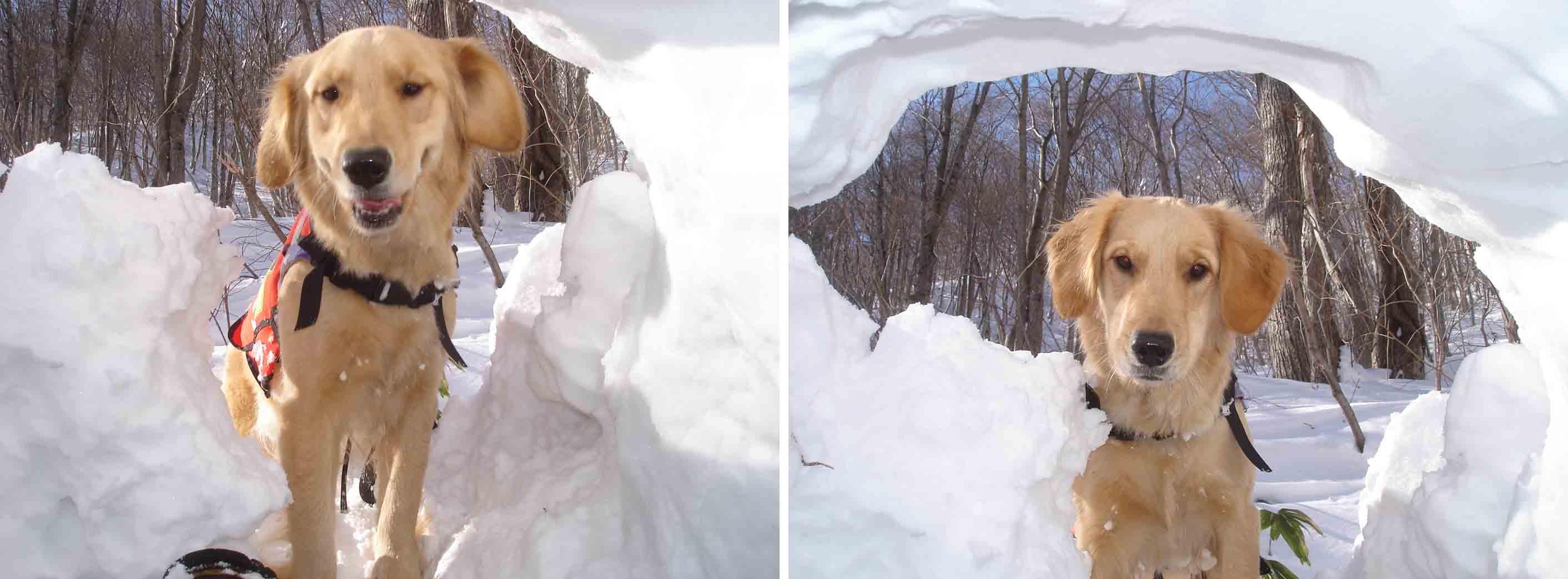 雪中デビューゴールデンの捜索Ⅰの①