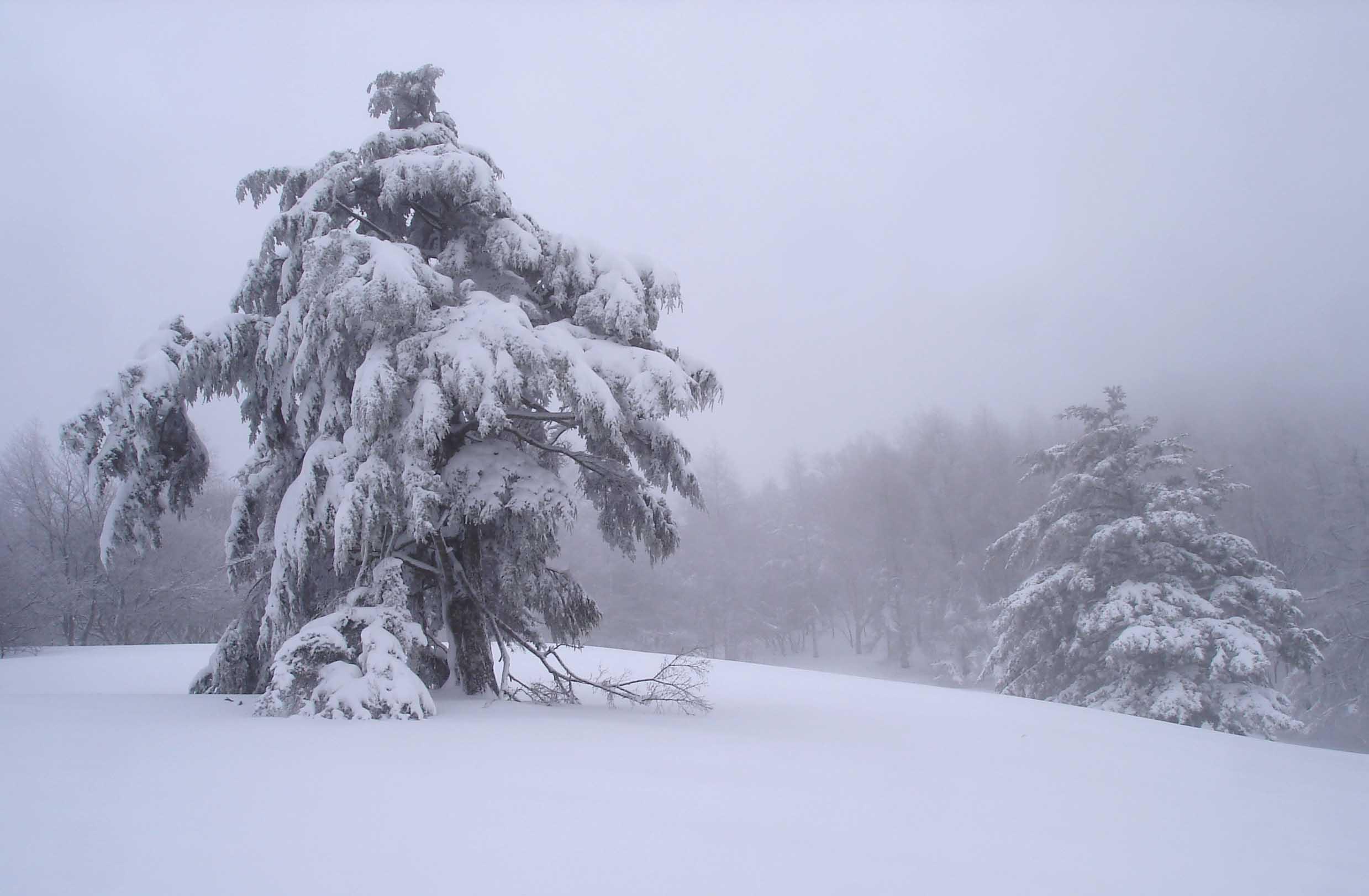 ガス間の積雪樹木