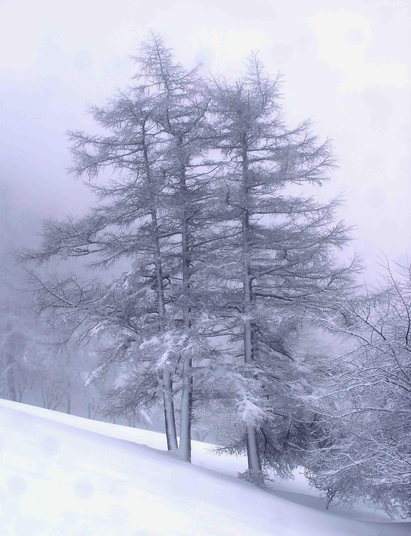 ガス間の積雪樹木②