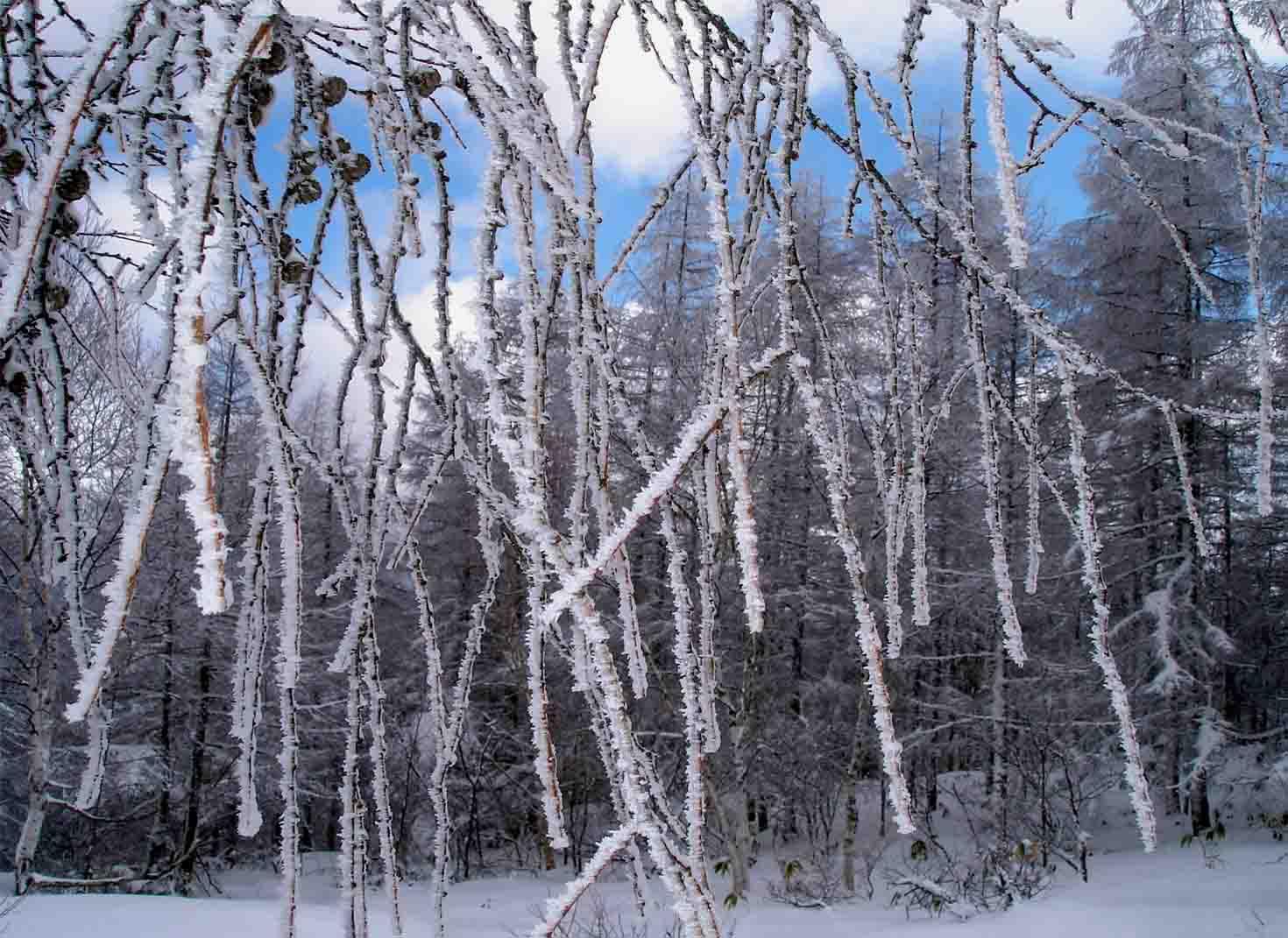 しだれ樹霜