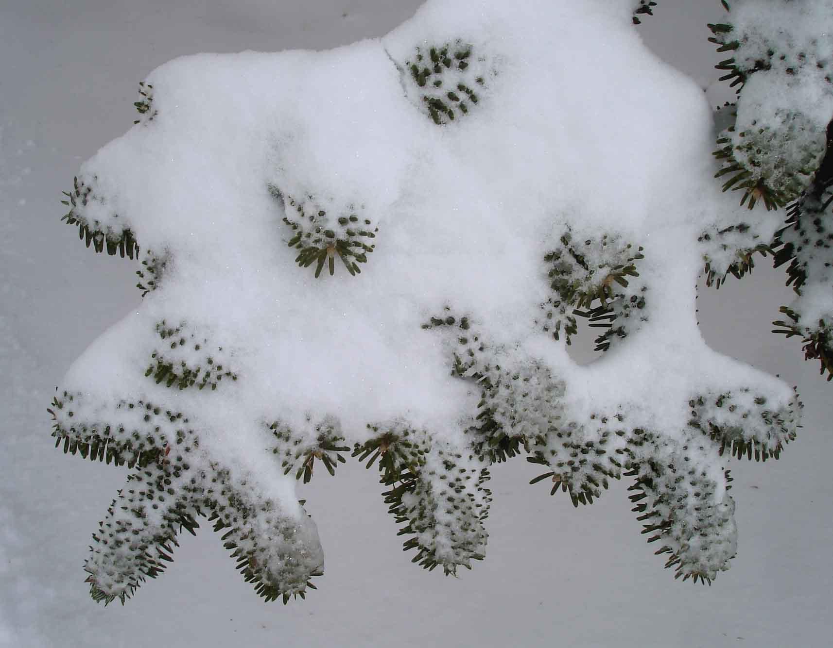 オオシラビソの葉上に積もった雪